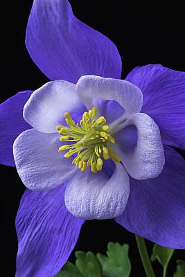 Columbine Photograph - Blue Columbine by Garry Gay