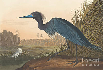 Crane Drawing - Blue Crane Or Heron by John James Audubon