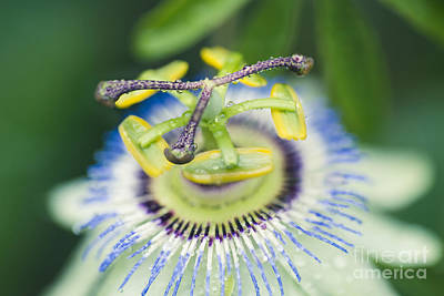 Passiflora Photograph - Blue Crown Passiflora Caerulea Passion Flower by Sharon Mau