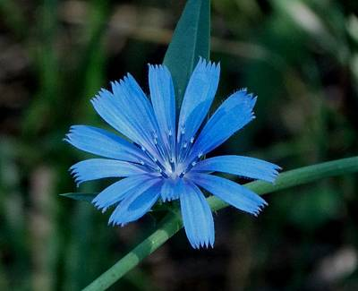 Flower Photograph - Blue Chicory Flower by Trinket's  Legacy