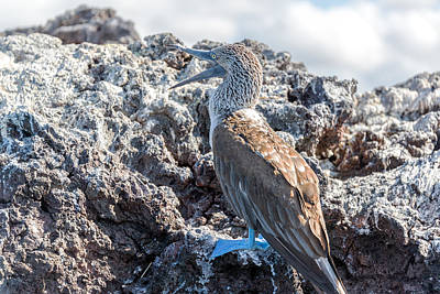 Blue Footed Booby Print by Jess Kraft