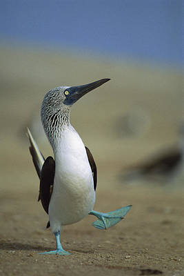 Boobies Photograph - Blue-footed Booby Sula Nebouxii by Tui De Roy
