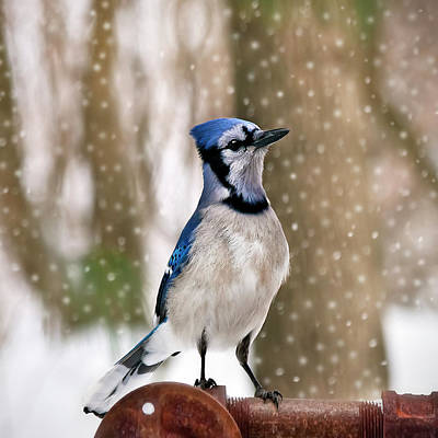 Bluejay Photograph - Blue For You by Evelina Kremsdorf