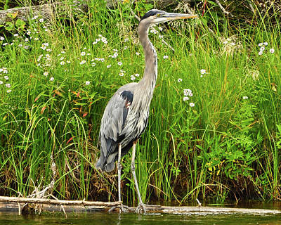 Blue Heron Print by Greg Norrell