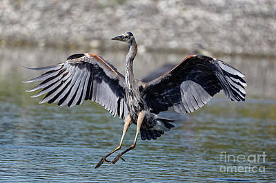 Canada Photograph - Blue Heron Touch Down by Sue Harper