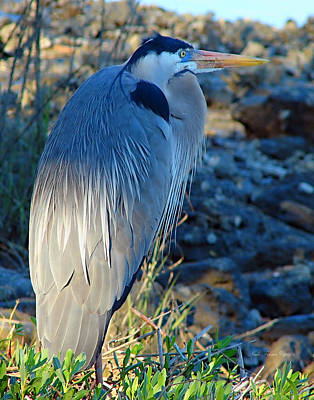 Blue Heron Visions Print by Nada Frazier