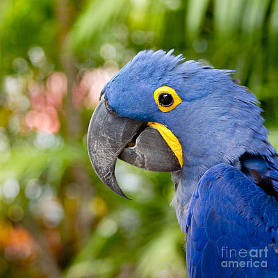 Blue Hyacinth Macaw Print by Sharon Mau