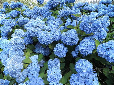 Photograph - Blue Hydrangeas by Kate Gallagher