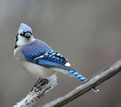 Blue Jay 2 Print by Todd Hostetter