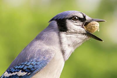 Blue Jay Photograph - Blue Jay And Peanuts by Jim Hughes