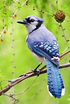 Cyanocitta Cristata Photograph - Blue Jay Bird by Christina Rollo