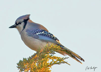 Blue Jay Print by Phill Doherty