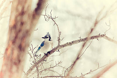 Blue Jay Winter Print by Karol Livote