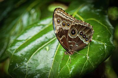 Blue Morphos Butterfly Print by Chad Davis