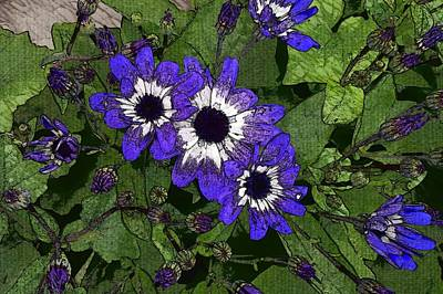 Blue Pericallis Senetti Print by Mina Thompson