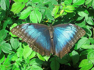 Flutter Photograph - Blue Queen by Mario Perez