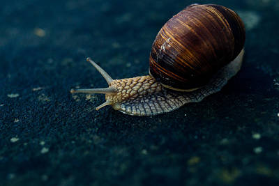Snail Photograph - Blue Snail by Pati Photography