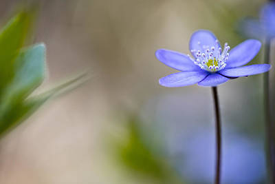 Hepatica Photograph - Blue Spring  Flower Magic by Dirk Ercken