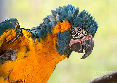 Macaw Photograph - Blue Throated Macaw by Jamie Pham