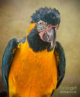 Macaw Photograph - Blue Throated Macaw Portrait by Jamie Pham