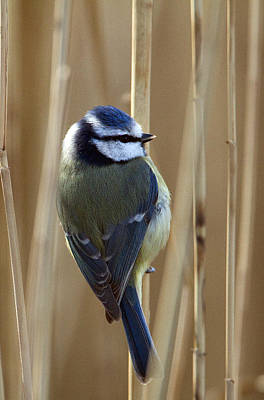 Blue Tit On Reed Original by Bob Kemp