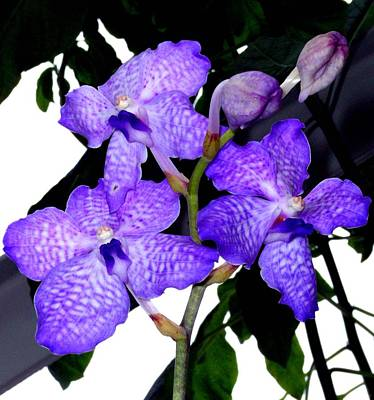 Blue Violet Orchids Print by Mindy Newman