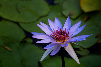 Genus Photograph - Blue Water Lily In Pond 2 by Brian Harig