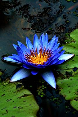 Waterlily Photograph - Blue Water Lily With Lilac Tip Stamen by Carol R Montoya