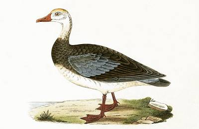 Blue Winged Goose Print by English School