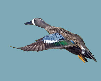Blue-winged Teal Print by Larry Linton