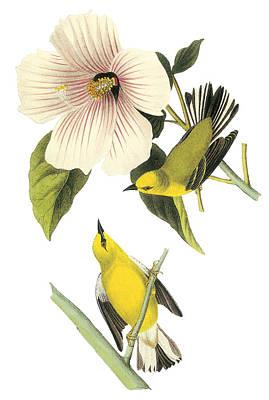 Warbler Painting - Blue-winged Warbler by John James Audubon
