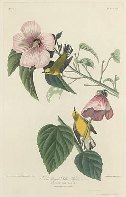 Yellow Beak Drawing - Blue-winged Yellow Warbler by John James Audubon