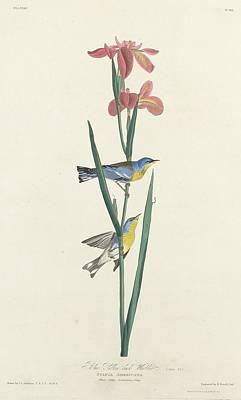 Yellow Beak Drawing - Blue Yellow-backed Warbler by John James Audubon