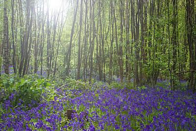 Essex Photograph - Bluebells by Martin Newman