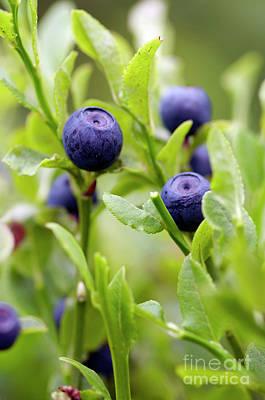 Blueberry Shrubs Print by Michal Boubin