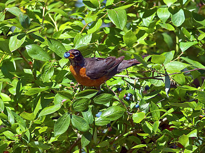 Robin Photograph - Blueberry Thief 2 by Sharon Talson
