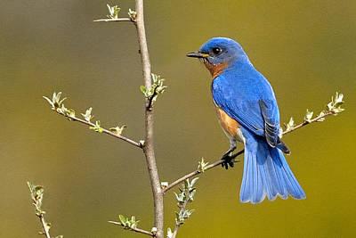 Bluebird Bliss Print by William Jobes