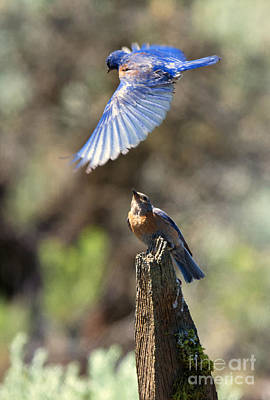 Fence Posts Photograph - Bluebird Buzz by Mike Dawson
