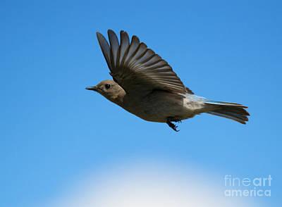 Bluebird Photograph - Bluebird Glide by Mike Dawson