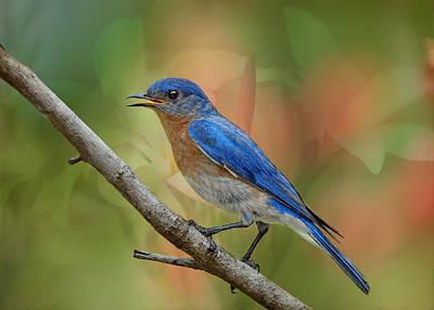Bluebird In Spring Original by Bonnie Barry