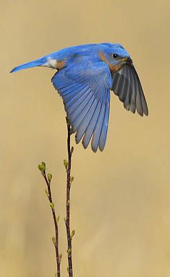 Bluebird Takes Flight Print by William Jobes