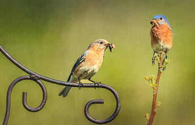 Bird And Worm Photograph - Bluebirds Gather Food For Chicks by Susan Candelario