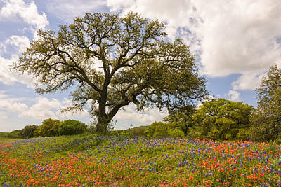 Bluebonnets Paintbrush And An Old Oak Tree - Texas Hill Country Print by Brian Harig