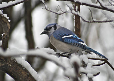 Bluejay Photograph - Bluejay 3648 by Michael Peychich