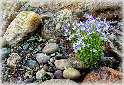 Bluets Among The River Rocks Print by Carolyn Derstine