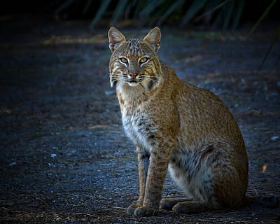 Beauty Mark Photograph - Bobcat At Dusk by Mark Andrew Thomas