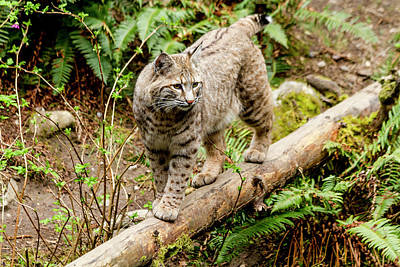 Bobcat In Forest Print by Teri Virbickis