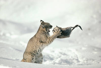 Bobcat Lynx Rufus Capturing Muskrat Print by Michael Quinton