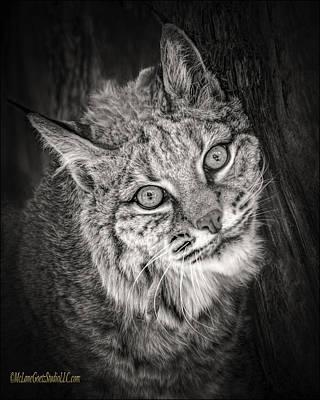 Bobcat Photograph - Bobcat Monochrome by LeeAnn McLaneGoetz McLaneGoetzStudioLLCcom