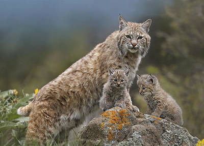Full Length Photograph - Bobcat Mother And Kittens North America by Tim Fitzharris